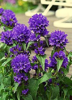 Campanula glomerata (Clustered Bellflower) - grow well in Utah, blooms June-July, 1-2 ft tall, full sun
