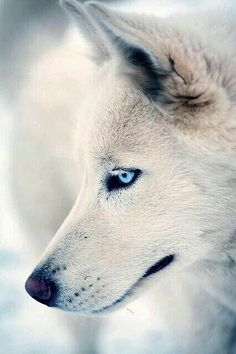An amazing white wolf with electric blue eyes