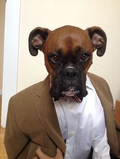 "Menswear dog boxer, funny face edition || ""...You're gonna love the way you look. I guarantee it!  