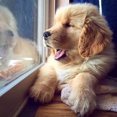 Looking out the window at work/school right now waiting for the weekend to start!  @goosethegolden by ilovegolden_retrievers #lacyandpaws