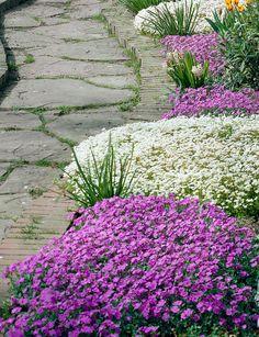 Aubrieta und Saxifraga - Pflanzenfreude.de  #mauerblümchen #bodendecker #blaukissen #steinbrech #garten #garden #outdoors