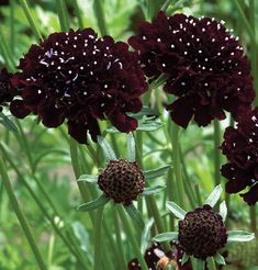 Scabiosa (Pincushion Flower) - 'Black Knight' - a small, dark flower that would be used sparingly as an accent. Works well with the soft greens.