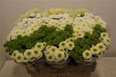Aanbieding: Gemengde chrysant santini in groen en wit