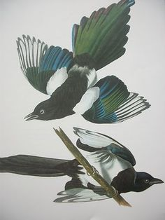 Antique John James Audubon Magpies Art Print Bird Magpie Birds C1900 | eBay