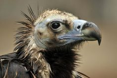 Birds of The World: OLD WORLD VULTURES