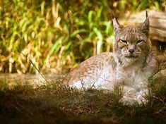 l desert Words. Desert Words, Lynx Boréal, Album Photo, France, Panther, Pirates, Laurent, Animals, Calm