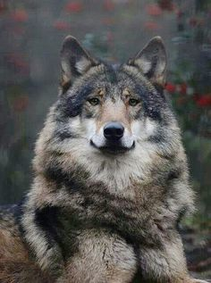 Beautiful thick-furred wolf on the alert.