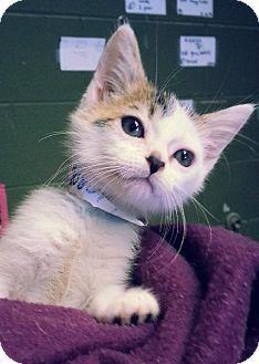 Prattville, AL - Domestic Shorthair. Meet Kia 20854, a kitten for adoption. http://www.adoptapet.com/pet/11340943-prattville-alabama-kitten