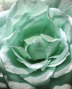 A Staggeringly Beautiful Aqua-Blue Rose Tiffany Blue, Pantone, Verde Aqua, Mint Green Aesthetic, Satin Roses, Blue Roses, Blue Orchids, Rose Flowers, Wedding Flowers