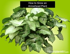 Seven Useful Shade Tolerant Groundcovers For Tough Spots Leave Half The Runners On An Arrowhead Plant Untrimmed And Half Trimmed For A Beautiful Hanging Plant. 10 Tips For Growing Arrowhead Plants: Easy Care Indoor Plants, Big Indoor Plants, Outdoor Plants, Hanging Plants, Outdoor Gardens, Indoor Garden, Outdoor Decor, Arrowhead Plant, Plant Diseases