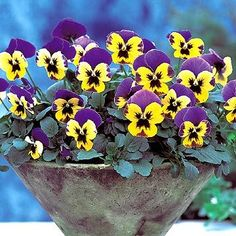 Pansy - fall-planted varieties will overwinter and bloom the following spring.  Blooms are edible.