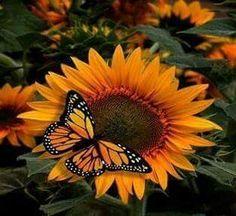 Monarch butterfly on sunflower Love Rose Flower, Butterfly Flowers, Monarch Butterfly, Beautiful Butterflies, Beautiful Flowers, Sun Flowers, Butterfly Photos, Peacock Butterfly, Orange Butterfly