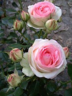 Resultado de imagem para rosier pierre de ronsard