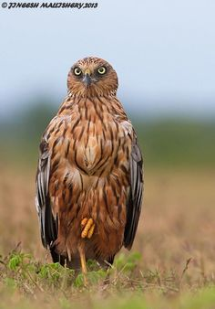 Marsh harriers are birds of prey of the harrier subfamily. They are medium-sized raptors and the largest and broadest-winged harriers. By Jineesh Mallishery