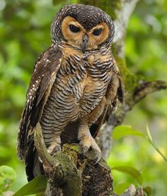Spotted Wood Owl by Southern Wings