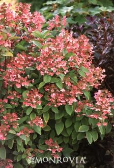 Quick Fire® Hardy Hydrangea-6-8' tall and wide (similiar to hydrangea tardia) - Highly recommended by landscaper