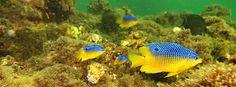Colorful fish swim around one of the artificial reefs in the Navarre Beach Marine Sanctuary. (Photo by Sandi Kemp.) Beach Condo, Beach House, Navarre Beach, Fish Swimming, Beach Vacation Rentals, Colorful Fish, Sandy Beaches, See Photo, Beach Homes