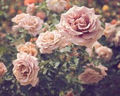 SALE Rose Garden Floral Flower Photography Roses by BreeMadden