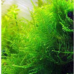 Moss - Christmas Moss Aquarium Plant