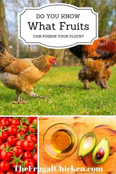 While most fruit are okay for your hens, there are some that can poison them. Do…