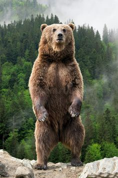 Photo about Brown bear Ursus arctos standing on his hind legs in the spring forest. Image of background, outdoor, grizzly - 125208302 Bear Photos, Bear Pictures, Large Animals, Cute Animals, Wild Animals, Baby Animals, Largest Animal On Earth, Marshmello Wallpapers, Bear Cubs