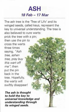Celtic Tree Astrology – Ash – Feb 18 – Mar 17 – Witches Of The Craft® Peter Wohlleben, Ash Tree, Celtic Tree, Celtic Crosses, Healing Herbs, Plantation, Book Of Shadows, Tree Of Life, Botany