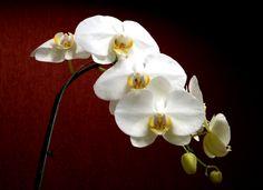orquídea.