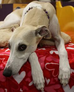 Whippet by mindync, via Flickr  I've wanted once ever since my 1990's trip to France when the Berthias family had 2!