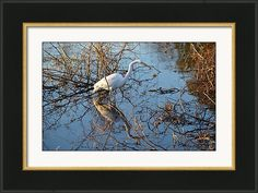 Framed Print featuring the photograph The Great Egret Hunting by rd Erickson