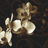 White Phalaenopsis Orchids Photographic Print by Michael Freeman at Art.com