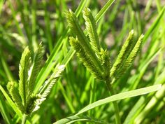 Eleusine indica ssp. coracana
