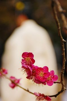Beautiful Ume Flower in Kyoto Japan, 2013