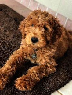 Mini golden doodle puppy Cute animals, Goldendoodle