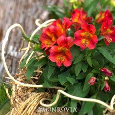 Letizia® Princess Lilies®, blooms spring-fall, part-full sun