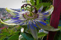 M  o   m   e   n   t   s   b   o   o   k   .   c   o   m: Το λουλούδι του Πάθους (του Χριστού), όπως το ονόμ...
