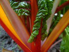 mangold termesztése