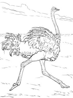 206 En Iyi Devekuşu Görüntüsü Ostriches Birds Ve Animal Drawings