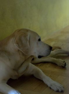 This makes me miss a certain yellow lab :)