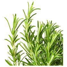 IKEA ROSMARINUS OFFICINALIS Potted plant Rosemary 12 cm Decorate your home with plants combined with a plant pot to suit your style.