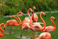 Why Are Flamingos Pink? Or sometimes orange. The answer may amaze you. It's connected to salmon and fake tans.