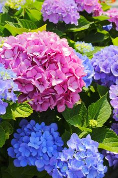 Why has my plant's flower changed colour? Beautiful Flowers Pictures, Flower Pictures, Amazing Flowers, Pretty Flowers, Colorful Flowers, Pink Flowers, Hortensia Hydrangea, Hydrangea Garden, Hydrangea Flower