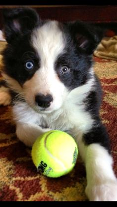 8 wk Border Collie-learning what a tennis ball is already! It will become your best friend!