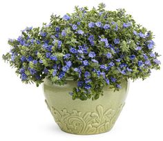 Blue My Mind™ Evolvulus is one tough plant.  This annual is low-water usage, heat tolerant and doesn't need to be deadheaded.  It has true blue flowers and silvery-green foliage and thrives in full sun.  It does prefer good drainage, but doesn't need fertile soil.  Good for pot or landscape.
