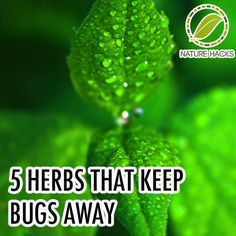 Those of you who are sick and tired of seeing bugs in your house try this. 5 Herbs That Keep Bugs Away