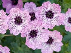 Geraniums, Plants, Gardening, Balcony, Lawn And Garden, Plant, Planets, Horticulture