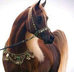 Beautiful Arabian Horses, Most Beautiful Horses, Majestic Horse, All The Pretty Horses, Beautiful Things, Egyptian Arabian Horses, Beautiful Images, Zebras, Beautiful Creatures