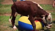 Dudley the cow - awesome story!