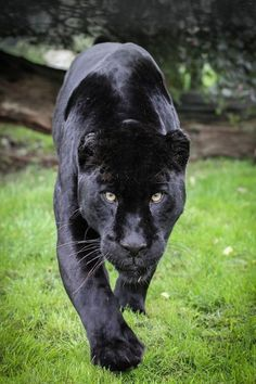 The Saskatchewan black panther can often be found near walking paths in populated areas.