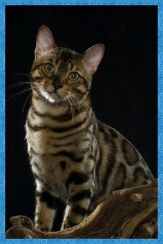 beautiful male bengal...looks alot like my boy Novel♡