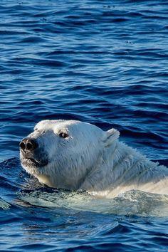 Watch Me Swim Polar Bear Sea Animal - Tiertapete iphone Beautiful Creatures, Animals Beautiful, Cute Animals, Polar Bears International, Bear Species, Cute Polar Bear, Panda, Bear Cubs, Nature Pictures